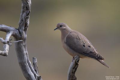 Eared Dove - Chile