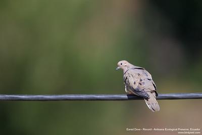 Eared Dove - Record - Antisana Ecological Preserve, Ecuador