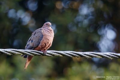 Eared Dove - Bogota, Colombia
