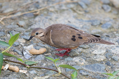 Eared Dove - Gilpin Trace, Tobago