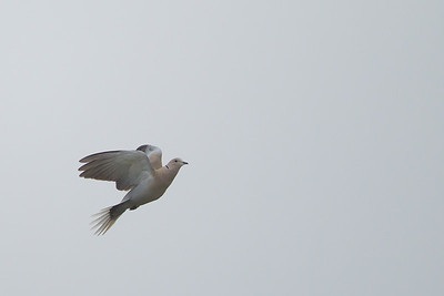 Eurasian Collared Dove - Point Reyes National Seashore, CA, USA