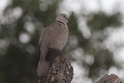 Eurasian Collared Dove - Rock of Gibraltar - Gibraltar