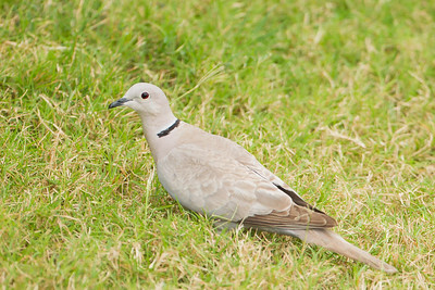 Eurasian Collared Dove - South Padre Island, TX, USA