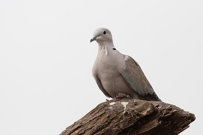 Eurasian-collared Dove - Kutch, Gujrat, India