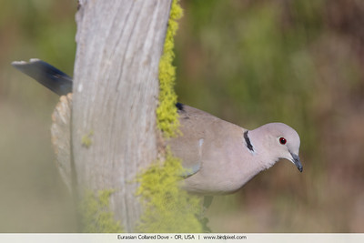 Eurasian Collared Dove - OR, USA