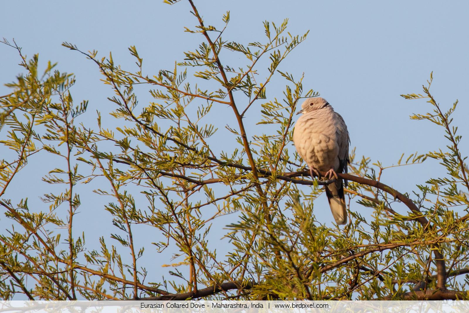 Eurasian Collared Dove - Maharashtra, India