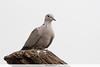 Eurasian-collared Dove - Kutch, Gujrat, India