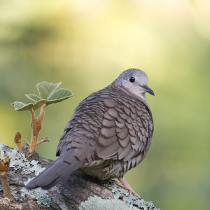 Inca Dove - Heredia, Costa Rica