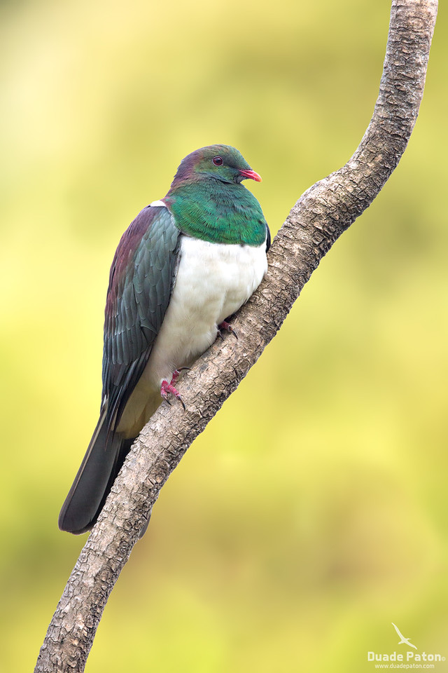 Kererū - New Zealand Pigeon