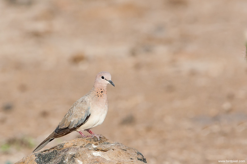 Laughing Dove - Kutch, Gujrat, India