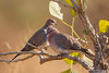 Laughing Dove - Maharashtra, India