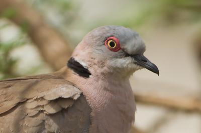 African Mourning Dove portrait - Nabi Hill, Serengeti National Park, Tanzania