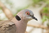 African Mourning Dove portrait - Nabi Hill, Serengeti National Park, Tanzania