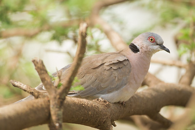 African Mourning Dove - Nabi Hill, Serengeti National Park, Tanzania