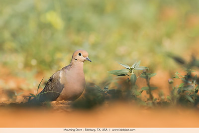 Mourning Dove - Edinburg, TX, USA