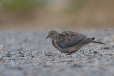 Mourning Dove - Alviso, CA, USA