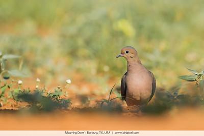 Mourning Dove - Edinburg, TX, USA