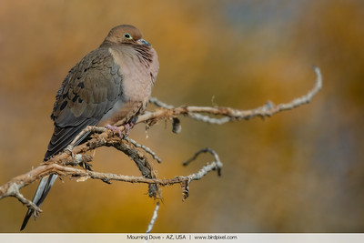 Mourning Dove - AZ, USA