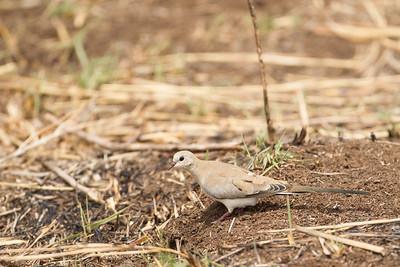 Namaqua Dove - Female - Tarangire National Park, Tanzania