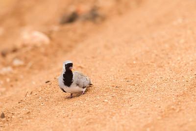 Namaqua Dove - Male - Tarangire National Park, Tanzania