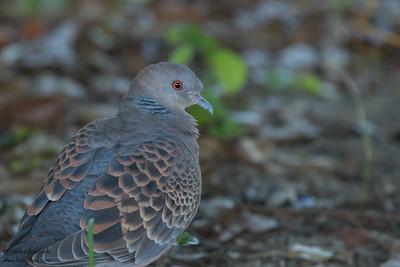 Oriental Turtle-Dove - Tokyo, Japan