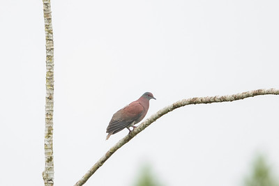 Pale-vented Pigeon - Amazon, Ecuador