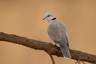 Ring-necked Dove - Tarangire National Park, Tanzania