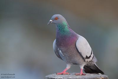 Rock Pigeon - Palo Alto, CA, USA