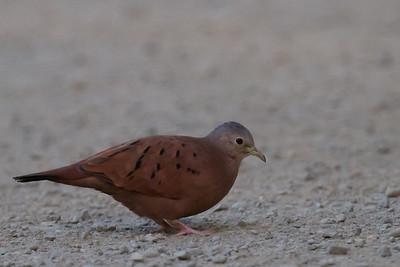 Ruddy Ground-Dove - Costa Rica