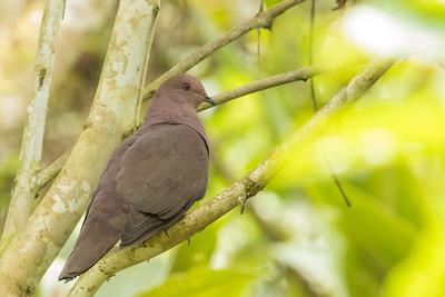 Ruddy Pigeon - Record - Sumaco, Ecuador