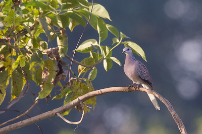 Spotted Dove - Near Koradi, Nagpur, India