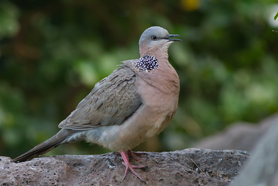 Spotted Dove - Maui, Hawaii, USA