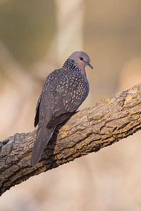 Spotted Dove - Pench National Park, Madhya Pradesh, India