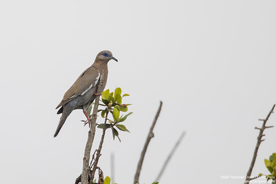 West Peruvian Dove - Lima, Peru