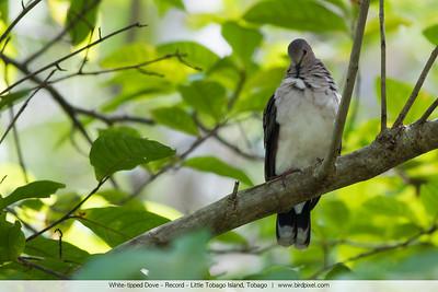 White-tipped Dove - Record - Little Tobago Island, Tobago