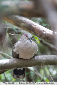 White-tipped Dove - Brownsville, TX, USA