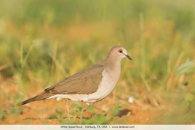 White-tipped Dove - Edinburg, TX, USA