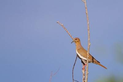 White-winged Dove - Tucson, AZ, USA