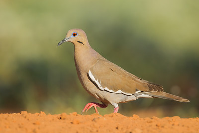 White-winged Dove - Edinburg, TX, USA