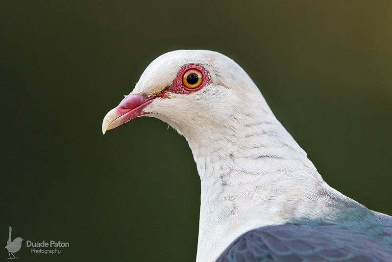 White-headed Pigeon