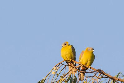 Yellow-footed Pigeon - Ambazari Garden, Nagpur, India
