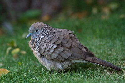 Zebra Dove - Maui, Hawaii, USA
