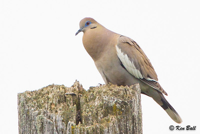 white-winged dove: Zenaida asiatica