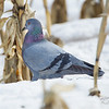 Giroux Road, rock pigeon: Columba livia