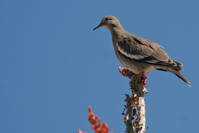 Doves Pigeons