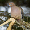 Larose Forest, mourning dove: Zenaida macroura