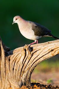 white-tipped dove_6060