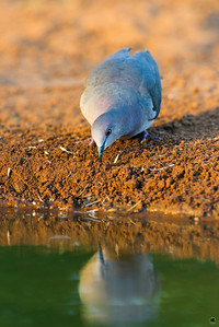 white-tipped dove_6080