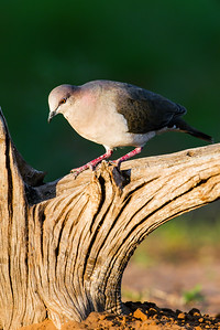 white-tipped dove_6061