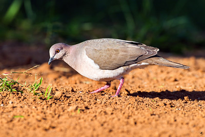 white-tipped dove_5861